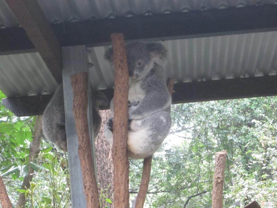 Photo: Koala Bear Sanctuary, Brisbane