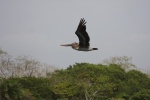 Photo: Pelican at the Panama Canal